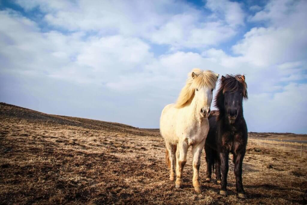 island-mietwagenrundreise-islandpferde-natur-pur-urlaub-buchen