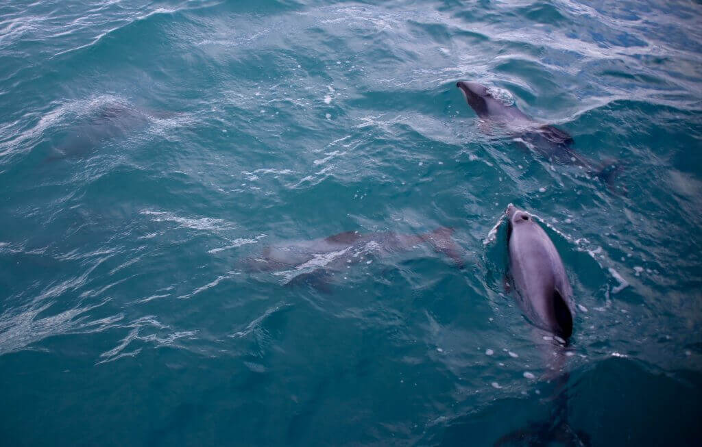 akaroa-bootstour-delphine-delfine-tagestrip-tagesausflug-empfehlung