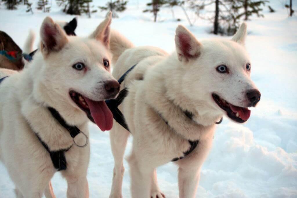finnland-lappland-hundeschlittentour-durch-unterwegs-reise-buchen-aktiv-reise