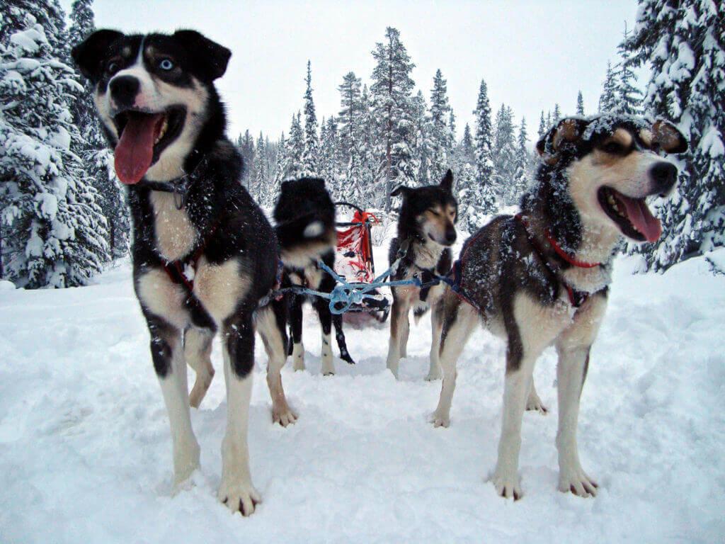 lappland-hundschlitten-finnisch-reise-buchen-spezialist-fuer-nordeuropa-winter