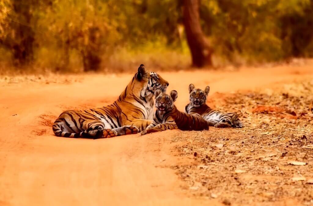 rundreise-individuell-durch-indien-tiger-wild-life-unterwegs-in-indien-reisespezialist