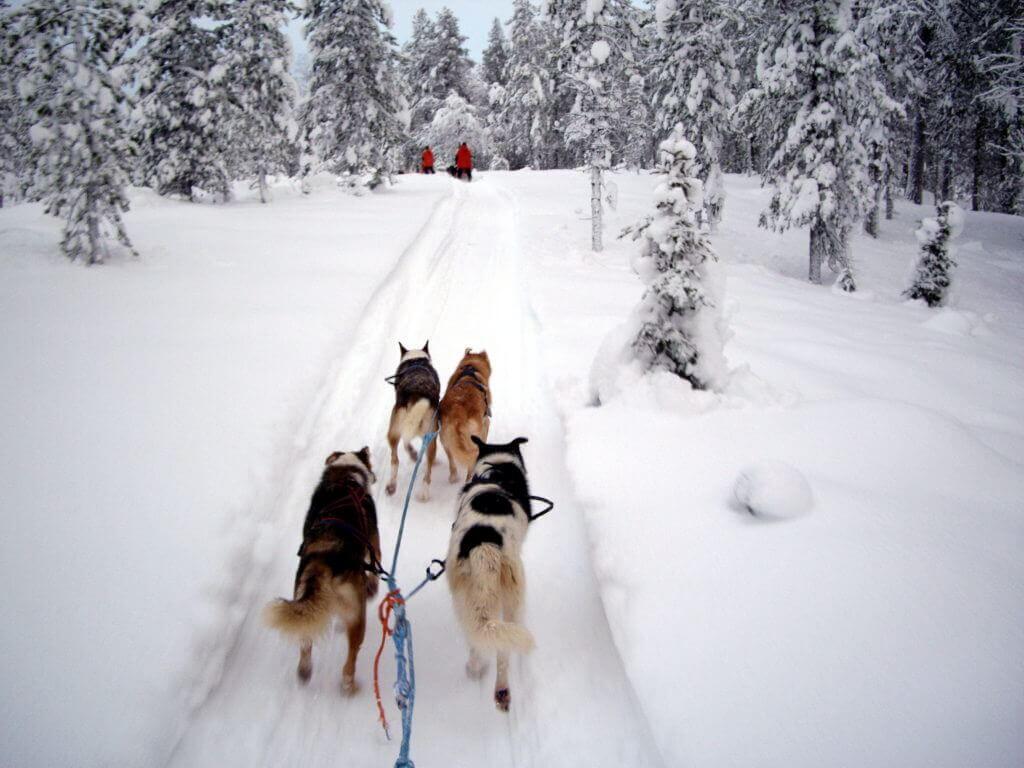 aktiv-reise-lappland-mit-dem-hundeschlitten-buchen-reisespezialist-finnland-nordeuropa