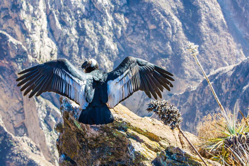aktivreise-peru-natur-fotoreise-buchen-rundreise-planen-individuelle-tour-reiseplaner-condor