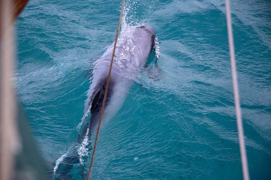 neuseeland-akaroa-bootstoure-segelturn-segelboot-buchen-tierbeobachtung-delphine-delfine-tagestrip-tagesausflug-empfehlung