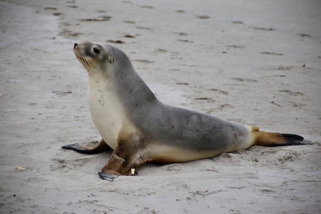 neuseeland-Otago-Peninsula-Tierbeobachtung-rundreise-reisesplaner-fotourlaub-fotoreise-tierfotografie-tiere-rundreise-reisebüro-perönliche-betreuung-beratung-tagestrip