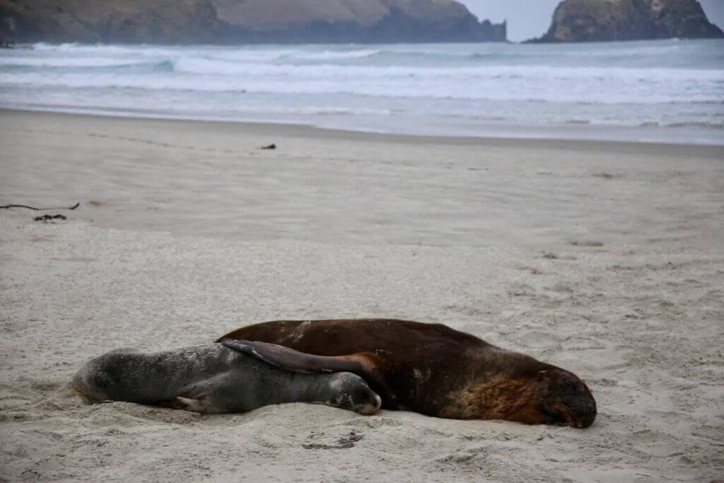 neuseeland-Otago-Peninsula-Tierbeobachtung-rundreise-reisesplaner-fotourlaub-fotoreise-tierfotografie-tiere-rundreise-reisebüro-perönliche-betreuung-beratung